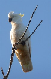 7.sc cockatoo4