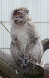 51.crab-eating macaque1
