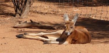21-red-kangaroo