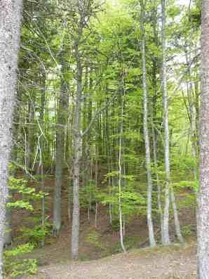 27-beech-forest