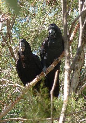 42-black-cockatoo