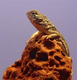53-lizard