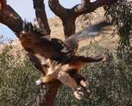 7-wedge-tailed-eagle