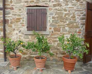 18-lemon-trees