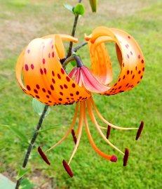 23.Tiger Lily