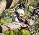 4.kookaburra