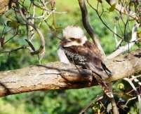 9.kookaburra