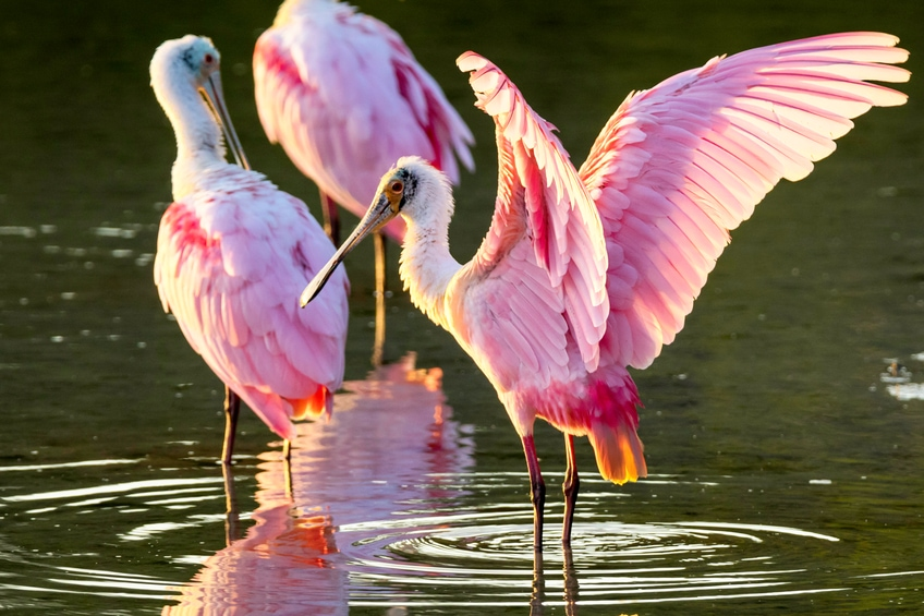 Where Can I See Roseate Spoonbills In Sarasota Or Bradenton