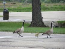 goose, gander and gosling