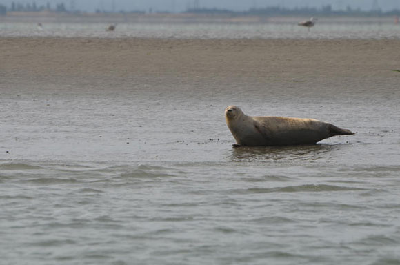 Harbour seal in Thames Estuary. Image credit www.zsl.org