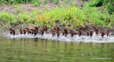 Common Mergansers spotted while paddling near Katahdin Woods and Waters National Monument