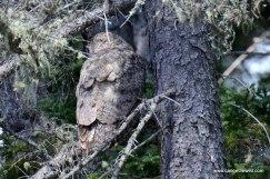 Great Horned Owl Allagash