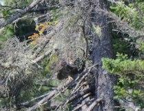 Great Horned Owl Peaking
