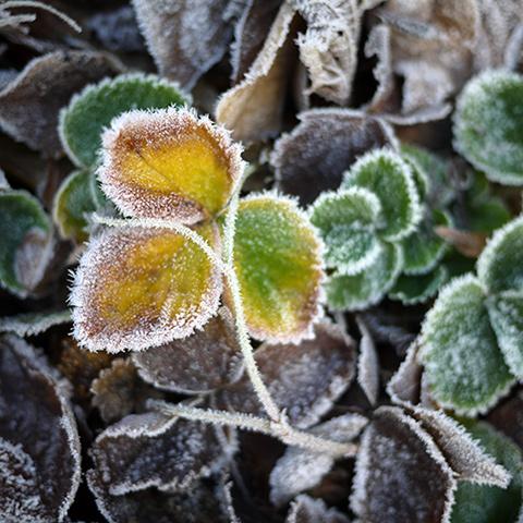 frosty-beauty
