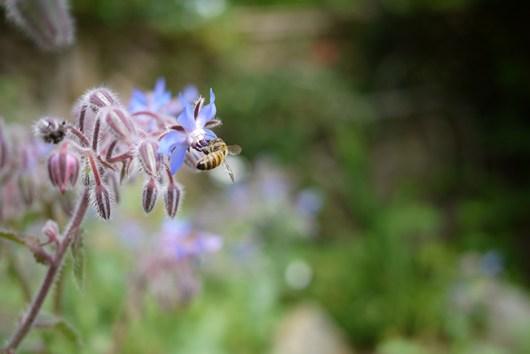 ミツバチとボリジ