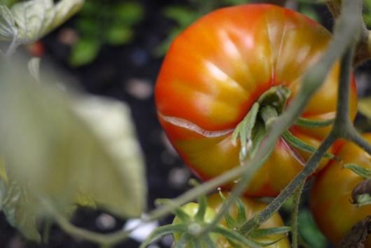 tomatosplit2