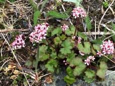 Heart-leaved saxifrage (Saxifraga punctata) on Adak Island