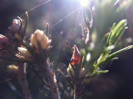 Microcosmos, Erica arborea flowers
