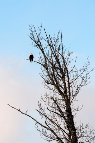 """Then """"Life"""", the girl in red and I went for a drive around Dragon Lake, where we saw this eagle in a tree,"""