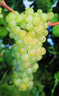Grappoli di uve Santa Maria