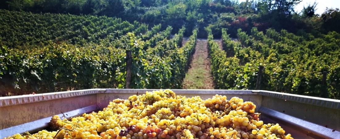 Carrettone di uva durante le lavorazioni per il vino a Cantina Visconti