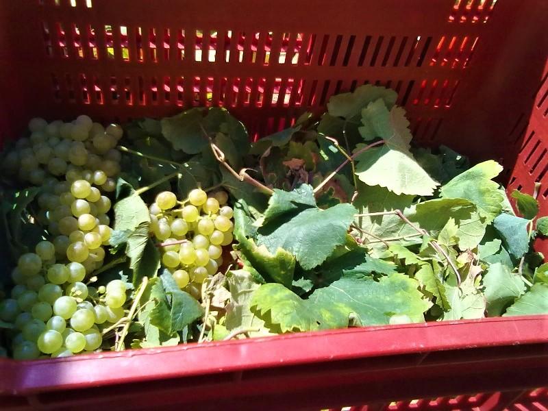 Cassa di uva per Vin Santo di Vigoleno durante la vendemmia