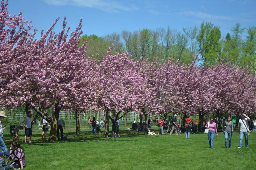 brooklyn botanic garden cerejeiras2
