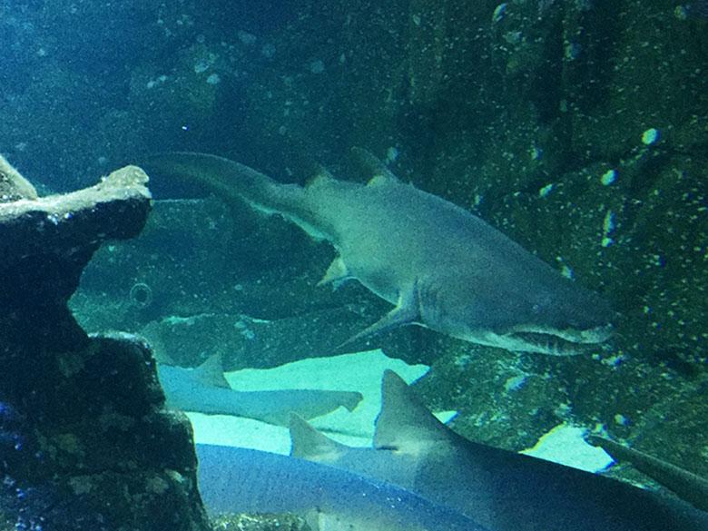 Aquário de tubarões no Aquário de São Paulo