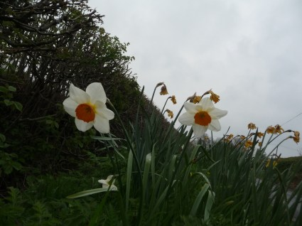 More Kamikazi Daffs. I have come to look forward to them.