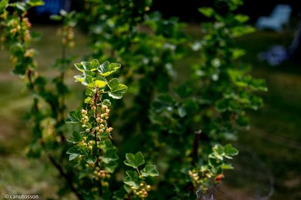 uva-crispa