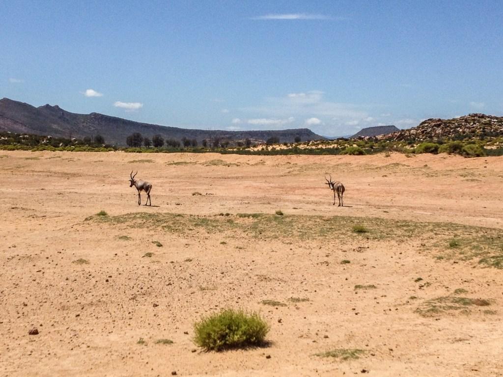 Aquila Safari - Springbok