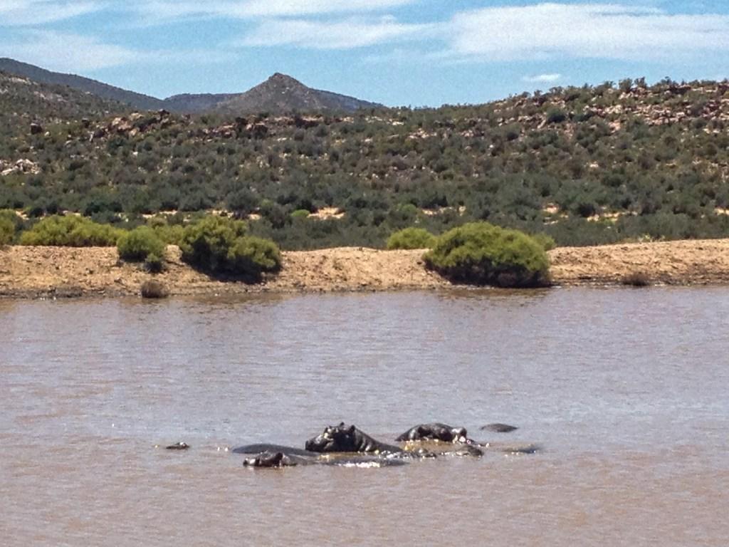 Aquila Safari - Hippos