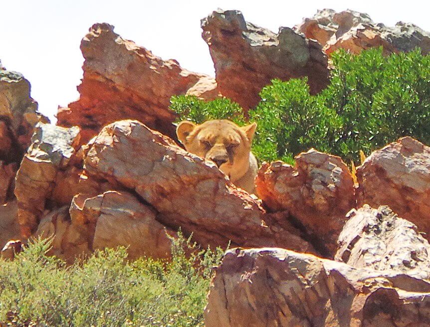 Lioness at Aquila Safari South Africa