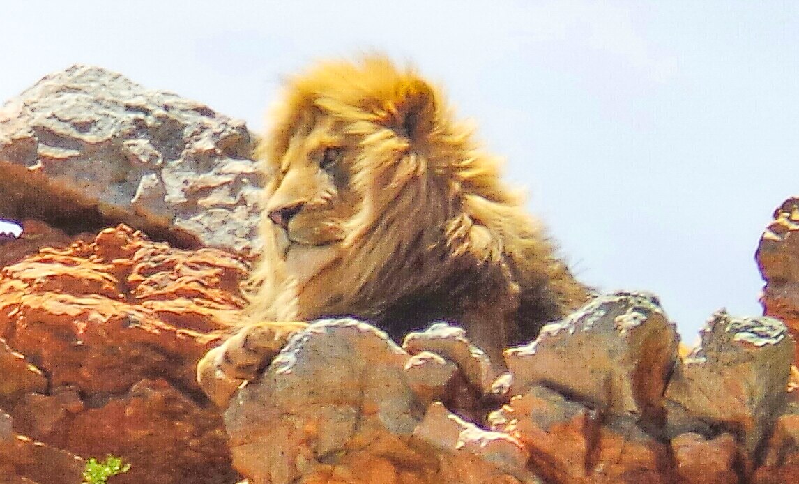 Lion at Aquila Safari South Africa