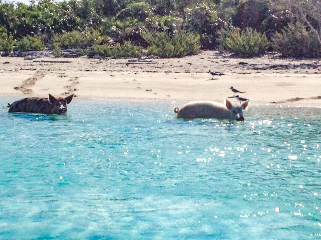 Swimming Pigs on Pig Beach, Bahamas in the Caribbean
