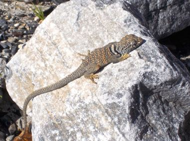 Collared lizard enjoying the morning sun.