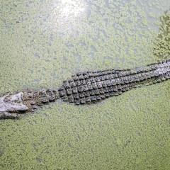 Casi todo lo que va de un cocodrilo a una nutria