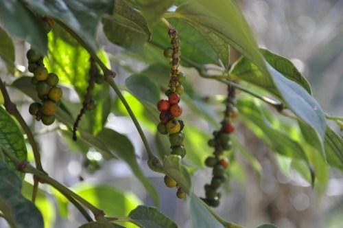 J+249 Visiter une plantation de poivre !