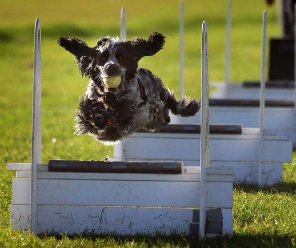 Flyball, dog sports and activities information