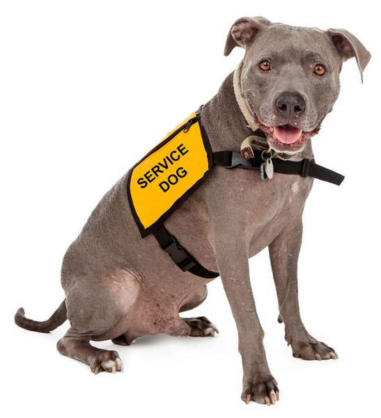 Pitbull Service Dog with a harness - trained dogs for people with disabilities