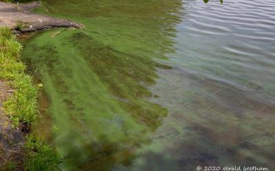 WCAI: Toxic Blue-Green Algae Blooms Spread in Cape Ponds