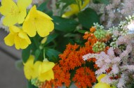 Sun drops, native Butterfly milkweed, and Astilbes in the June garden