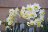 Narcissus 'Avalanche' wafts a delightful fragrance in March