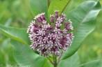 Asclepias syriaca / Swamp Milkweed (NATIVE)