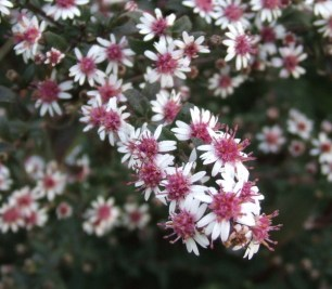 Aster 'Lady in Black' (NATIVE)