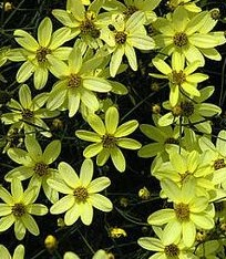 Coreopsis 'Moonbeam' (native cultivar)