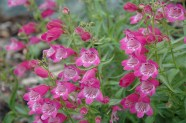 Penstemon 'Red Rocks' / Beardtongue (native cultivar)