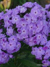 Phlox 'David's Lavender' (NATIVE)