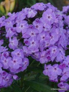Phlox 'David's Lavender' (NATIVE)