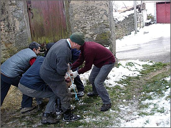 Matança tradicional do porco